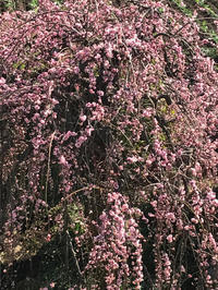 枝垂れ梅が満開になりました。 - piecing・針仕事と庭仕事の日々
