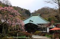 海蔵寺の枝垂れ梅 - 暮らしを紡ぐ