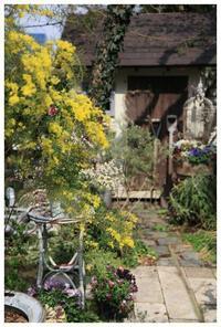 アカシア、スノーウィ―リバーの花 - natu     * 素敵なナチュラルガーデンから~*     福岡で庭造り、外構工事(エクステリア)をしてます