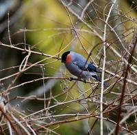 帰りがけに出会ったウソだった・・・ - 一期一会の野鳥たち