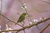 白梅にメジロ桜 - 生きる。撮る。
