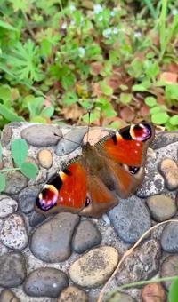 クジャクチョウ(孔雀蝶) - 世話要らずの庭