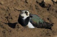 タゲリお休み中 - 気まぐれ野鳥写真
