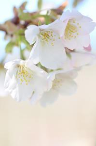 那賀川堤大島桜 - 123!