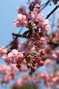 河津桜 - miyabine's フォト日記2~身の周りのきれい・可愛い・面白い~