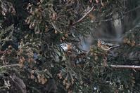 杉の実を食べる花鶏の群れ - 鳥と共に日々是好日