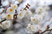 梅と桜 - りゅう太のあしあと