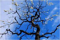 白梅の木 - HIGEMASA's Moody Photo