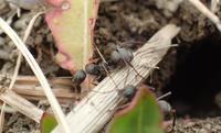 啓蟄のアリ1 - 写ればおっけー。コンデジで虫写真
