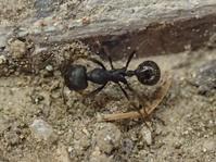 啓蟄のアリ2 - 写ればおっけー。コンデジで虫写真