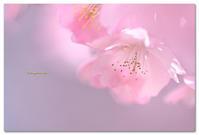 河津桜 - toru photo box