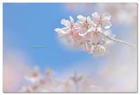 玉縄桜 - toru photo box