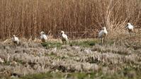 葦原にいた5羽のヘラサギ - なんでもブログ
