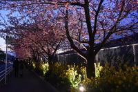 三浦のナイト河津桜2 - 素顔のままで