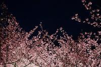 三浦のナイト河津桜3 - 素顔のままで