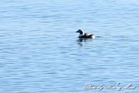 北の大地遠征2日目漁港巡りで会えた鳥さん♪ - ケンケン&ミントの鳥撮りLifeⅡ