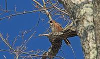 カケスが樹の上に - barbersanの野鳥観察