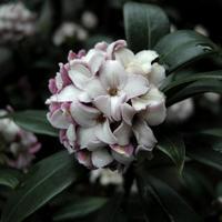 庭に咲く沈丁花 - 暢気(のんき)おやじ