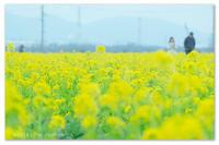 ちびっこ菜の花。 - Yuruyuru Photograph