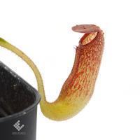 New arrival plants   新掲載植物スリランカの老舗ネペンテス業者Borneo Exotics  取扱開始致しました - ZERO PLANTS / BLOG