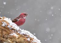 空からのプレゼント...オオマシコ - 野鳥...四季折々