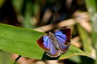 3月5日ムラサキシジミ等 - 蝶と自然の物語