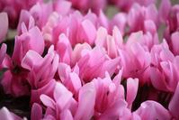 ピンク色に染まる。 - 万願寺通信