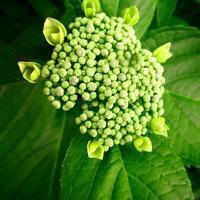 ・うす緑の蕾の花・ - - Foliage & Blooms'葉と花' pics. -