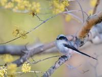 サンシュユ/紅梅とエナガたち - トドの野鳥日記