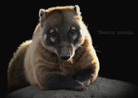 アカハナグマ:Ring-tailed Coati - 動物園の住人たち写真展(はなけもの写眞店)
