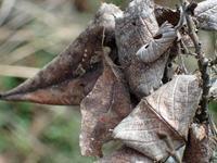 まだ、越冬中のテングチョウ - 秩父の蝶