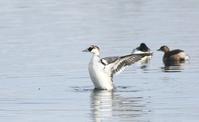 ミコアイサ - zorbaの野鳥写真と日記