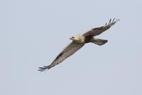 ケアシノスリ⑤近くを旋回 - 気まぐれ野鳥写真