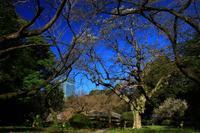 春運ぶ白いモクレン - お散歩写真     O-edo line
