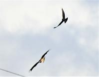 トンビとカラス - 鳥と共に日々是好日