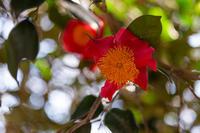 椿 咲く - 彩りの軌跡