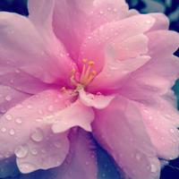 ・ピンクのフリル花びら・ - - Foliage & Blooms'葉と花' pics. -