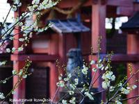神社の梅 - 小町のお出かけ日記