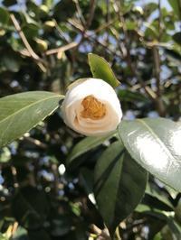 毎年美しい白い椿がさきます。「母のオハコは演歌!雪椿~~~♫」編 - 納屋Cafe 岡山