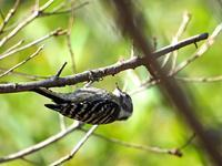 衣笠公園  コゲラ - 江戸さんの野鳥撮り