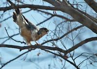 コチョウ♂ - 今日も鳥撮り