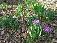 クロッカスと花粉症再発 - natural garden~ shueの庭いじりと日々の覚書き