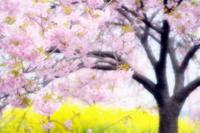 笠戸島の河津桜 #4 - another eye