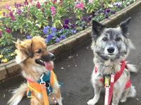 花壇の前で - 琉球犬mix白トゥラーのピカ