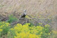 ケアシノスリ⑥菜の花 - 気まぐれ野鳥写真