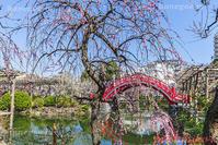 亀戸天神のしだれ梅 - 風景写真家 鐘ヶ江道彦のフォトブログ
