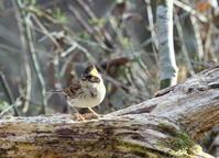 3月9日、富士山の麓に!昨日地元の公園で情報を頂き速実行、情報は鮮度が命と自分に言い聞かせ? - 鳥撮り日誌