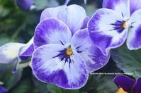 自宅庭パンジー - azure 自然散策 ~自然・季節・野鳥~