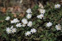 白い花びら - my FHOTO
