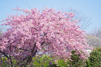 玉縄桜いっぱいの大船フラワーセンター - エーデルワイスPhoto
